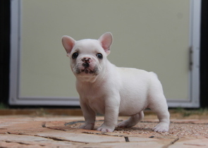 ID:FB588 French Bulldog