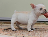 ID:FB591 French Bulldog