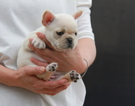 ID:FB592 French Bulldog
