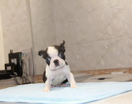 ID:BT132 Boston Terrier