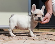 ID:FB568 French Bulldog