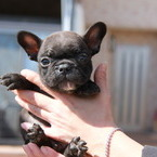 ID:FB570 French Bulldog のイメージ