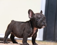 ID:FB570 French Bulldog