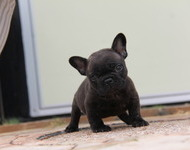 ID:FB573 French Bulldog