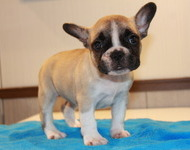 ID:FB577 French Bulldog
