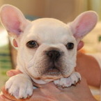 ID:FB579 French Bulldogのイメージ